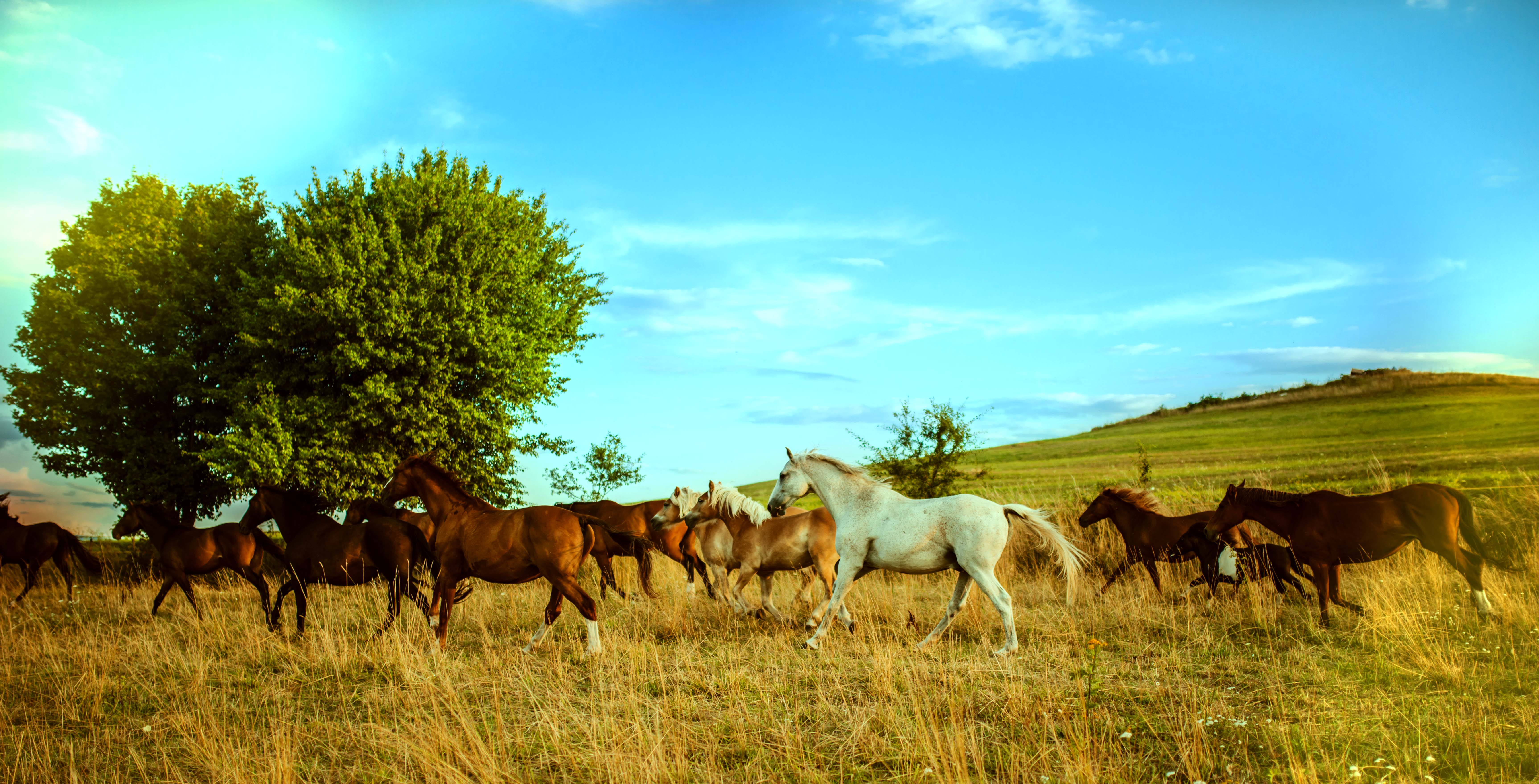 stado pastviny kone